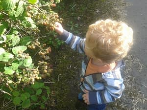 Toddler N navigates thorny branches to pick blackberries on a walk near our house.